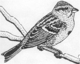 tree-sparrow_0001.jpg
